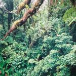 Jungle on Ambae
